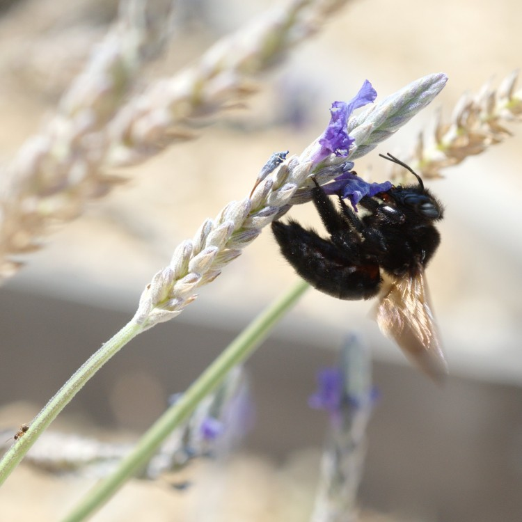 Xylocopa varipuncta, lavender (and ant)